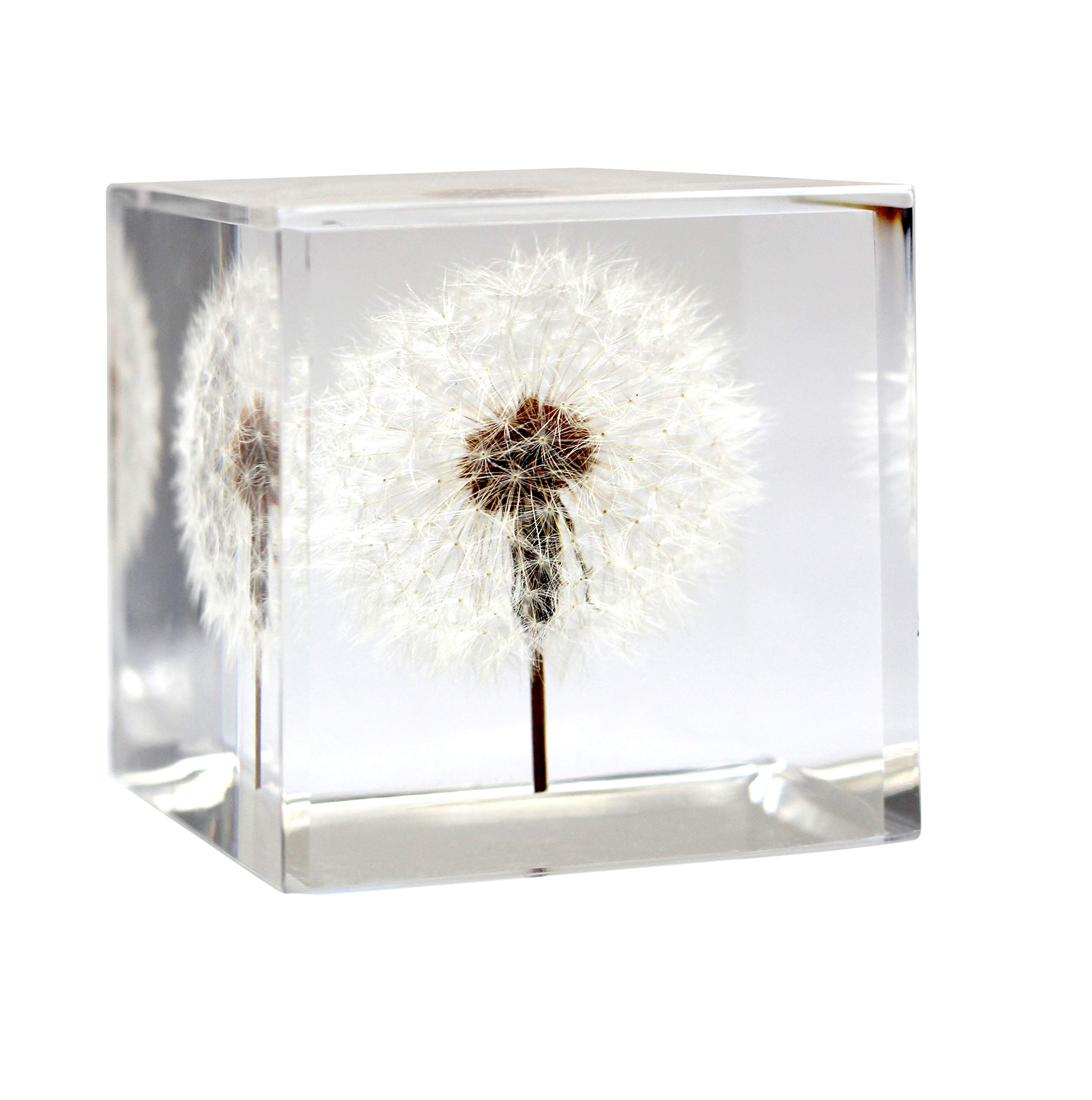 Dandelion Paperweight Cube - A Real Dandelion Puff! (Cube and Cuboid) (Cube (2.25'' x 2.25'' x 2.25'')) by Dandelion Collective LLC