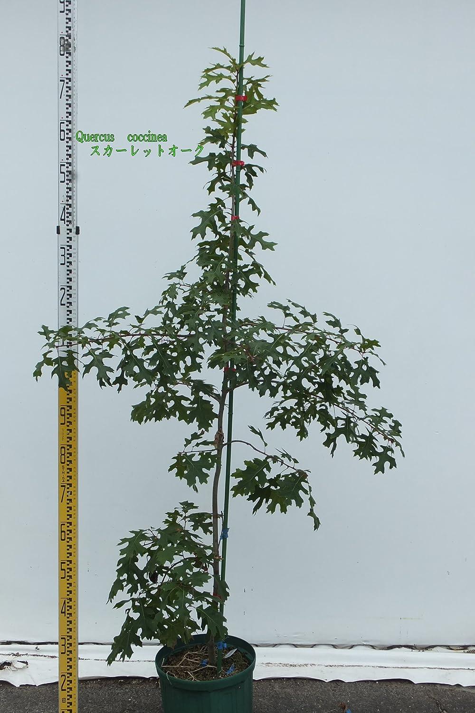 Quercus Coccinea スカーレットオーク B0753JKH3G