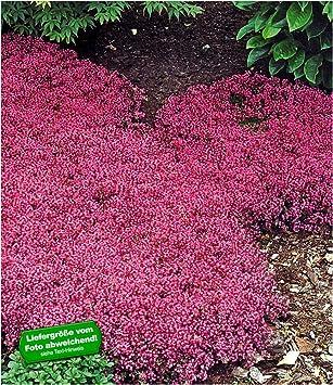 Baldur Garten Winterhart Bodendecker Thymian Thymus 3 Pflanzen