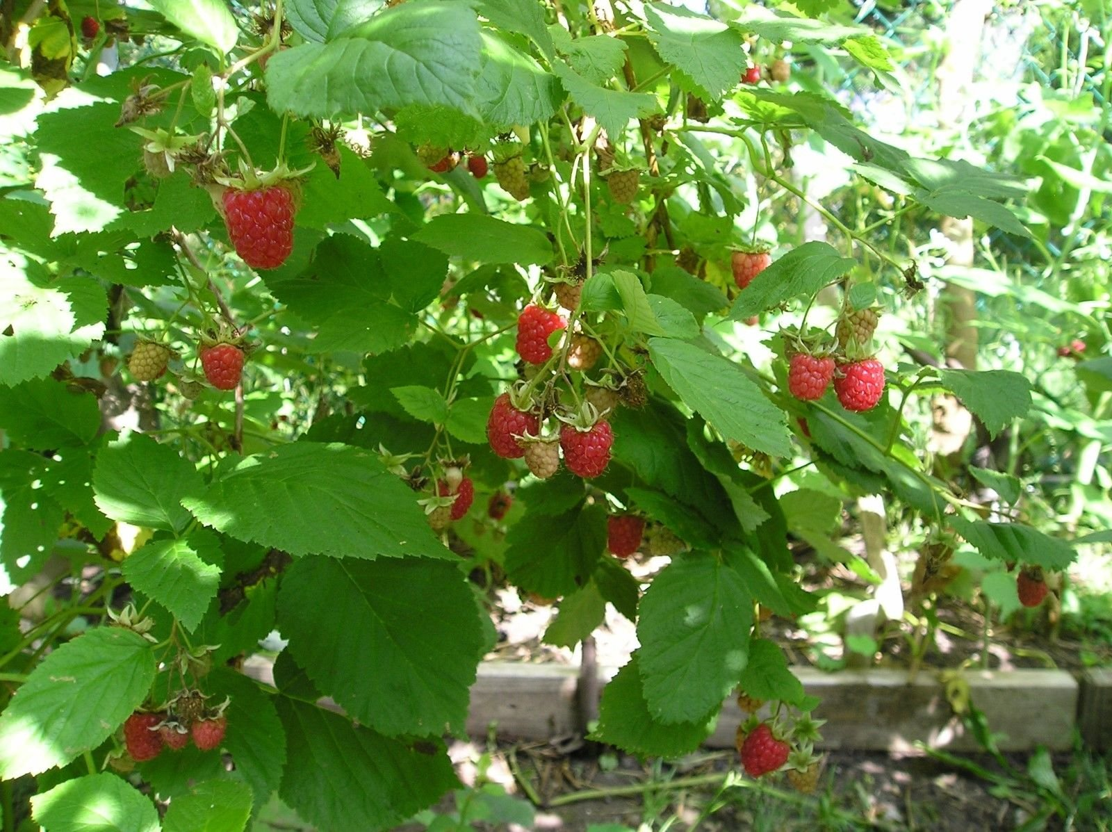 3 Heritage everbearing red raspberry plants (3 Lrg 2yr Bare Root Canes) Zone 3-8