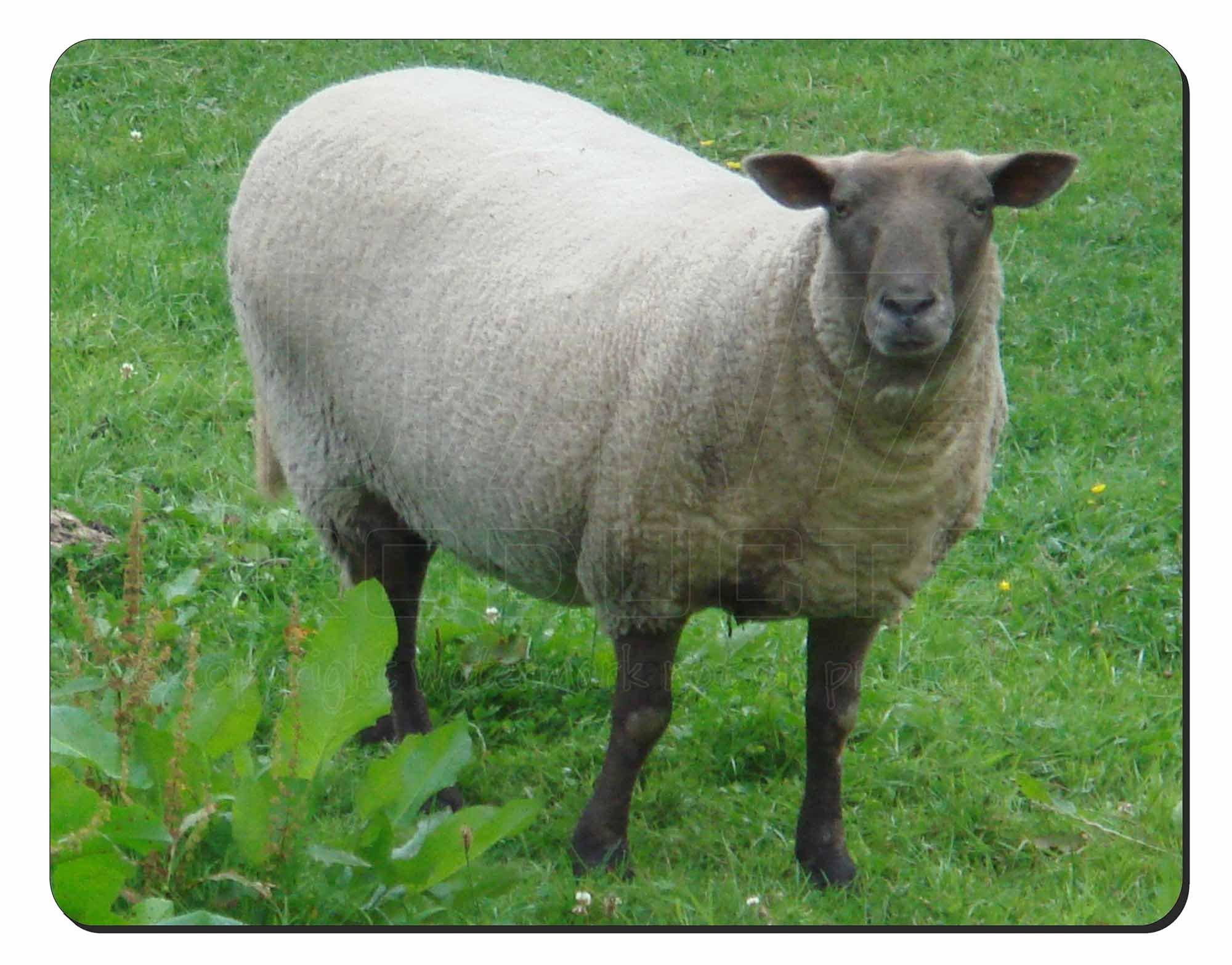 Sheep Intrigued by Camera Computer Mouse Mat/ Pad