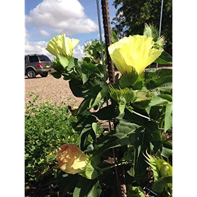 Gold Colored Cotton Seed, Heirloom, organically Grown : Garden & Outdoor