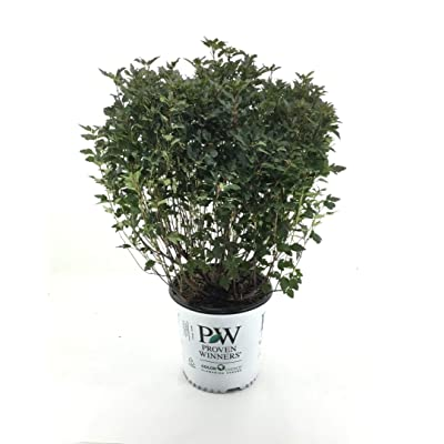 Premier Plant Solutions 19823 Tiny Wine Proven Winners Ninebark (Physocarpus O.), 2 Gallon : Garden & Outdoor