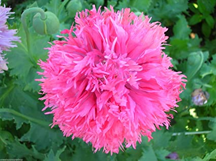 Amazon 100 poppy flower seeds pink feathers poppies papaver 100 poppy flower seeds pink feathers poppies papaver laciniatum feathery mightylinksfo