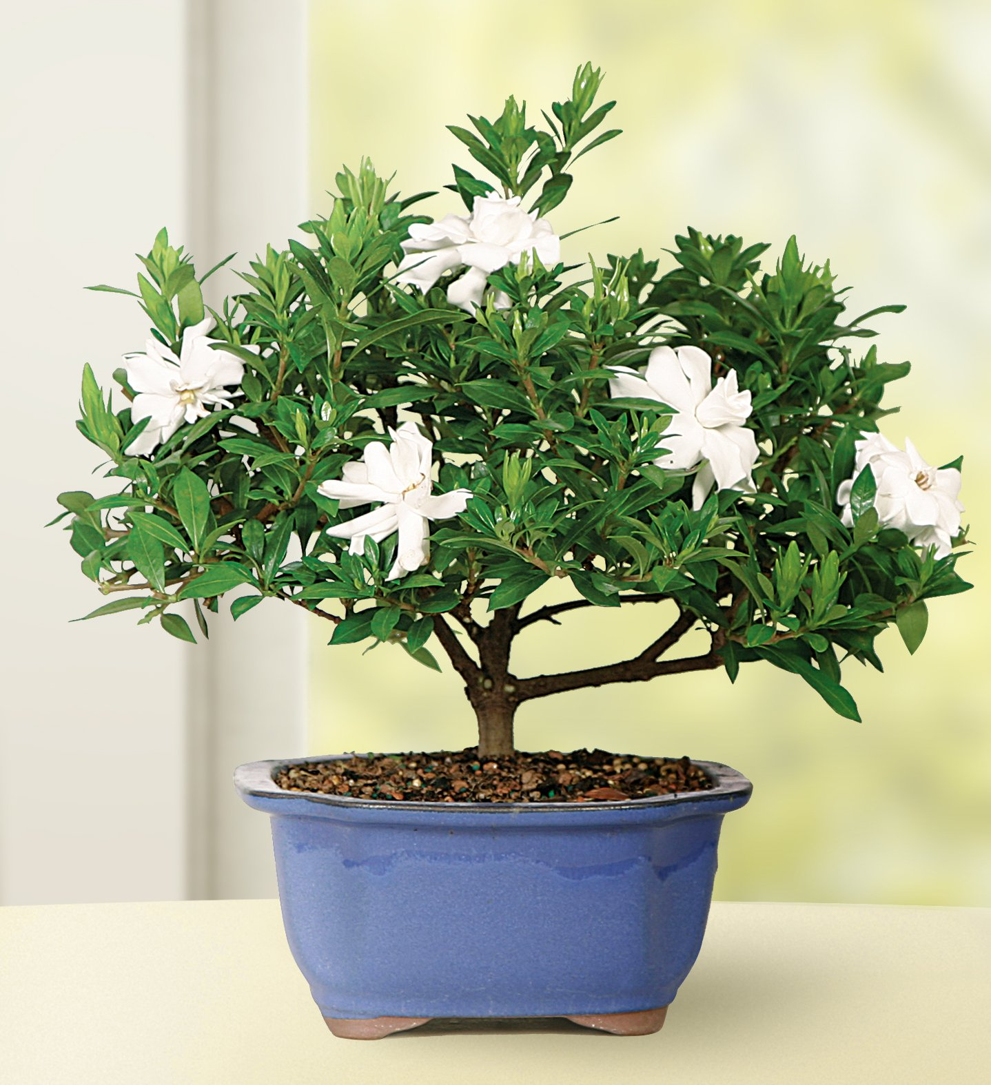 Brussel's Live Gardenia Outdoor Bonsai Tree - 4 Years Old; 6'' to 8'' Tall with Decorative Container
