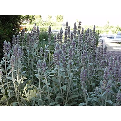 500 Lamb's Ear Seeds, Woolly Betony, Stachys lanata~Sow Spring/ Summer/Early Fall : Garden & Outdoor