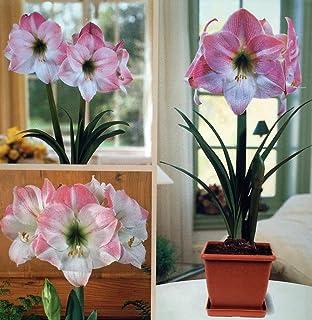 Amaryllis Kit Apple Blossom + Plastic Pot u0026 Soil - 26/28 cm Bulb & Amazon.com : Red Lion Amaryllis Kit - Gift Box - Large Bulb Pot ... Aboutintivar.Com