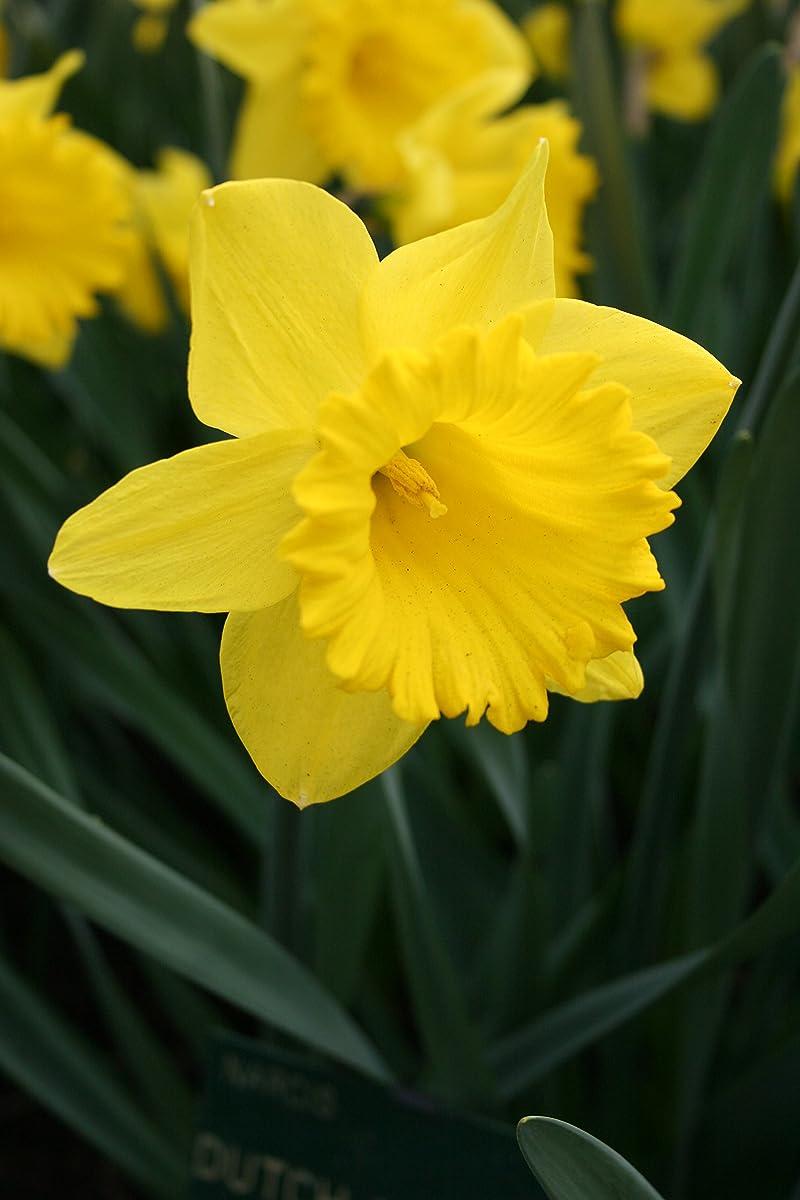 Dutch Master Daffodils (25 Bulbs) - Yellow Daffodil Narcissus Bulbs