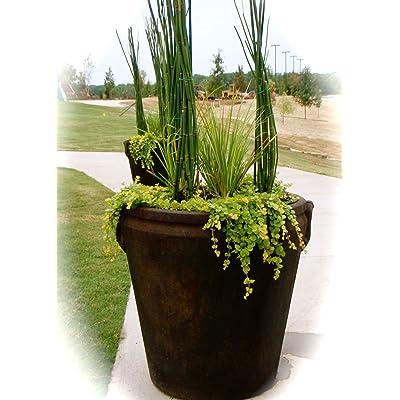 "8 x Horsetail Reed Bamboo Looking Zen Garden & Pond 8"" Tall Plants : Garden & Outdoor"