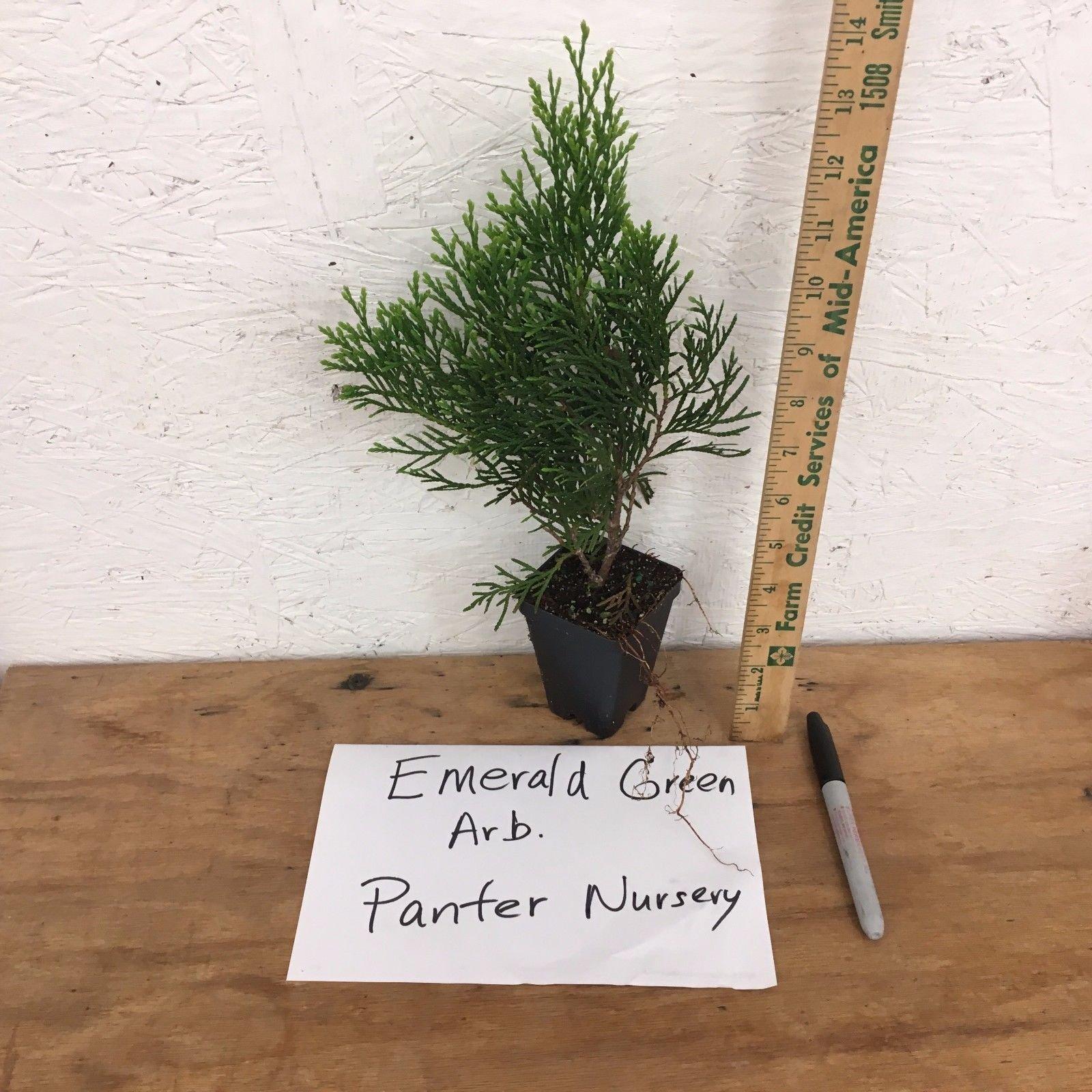 10 EMERALD GREEN Arborvitae (Thuja occidentalis)