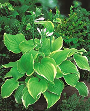 Hosta Plantain Lily Lakeside Cha Cha Bulbtuberroot Amazonco