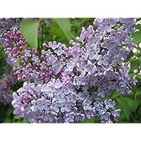 Syringa oblata, púrpura floración EarlyLilac/chino Lila, 25 semillas de plantas.
