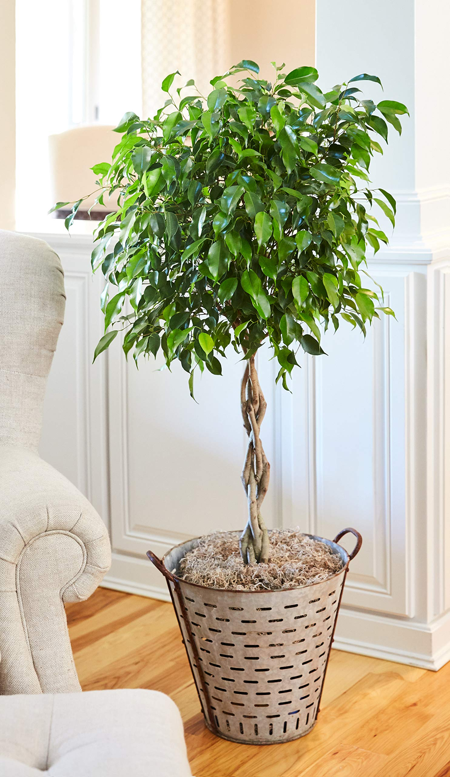 Benjamina Ficus Tree 2-3 ft. Tall - Unique Potted Tree, Perfect as a Live Patio Plants or Indoor Trees - Not Artificial Plants | No Shipping to AZ by Brighter Blooms (Image #2)