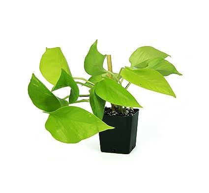 Amazon.com: Epipremnum aureum Neon Pothos: Jardín y Exteriores
