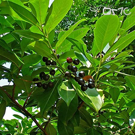 Cherry Laurel Carolina Laurelcherry Prunus caroliniana 20 Seeds Free Shipping