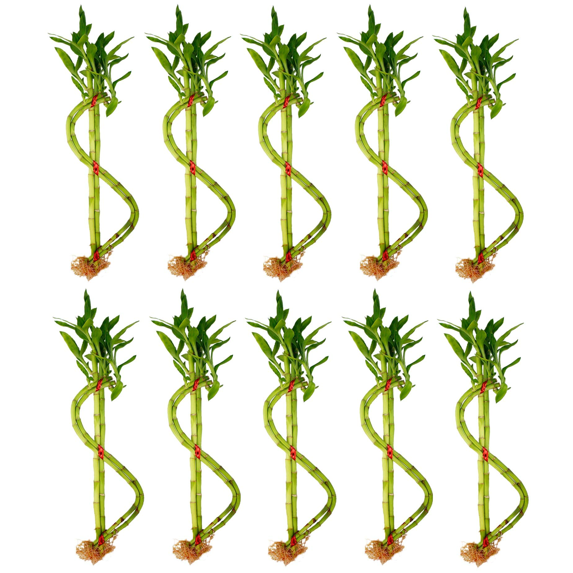 NW Wholesaler - Live Lucky Bamboo Money Sign House Plant - Lucky Money Plant (10)