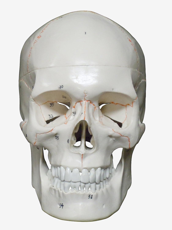 人体模型 頭蓋骨 詳細解説モデル   B00E0F5MP4