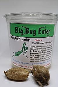Two Extra Large Praying Mantis Egg Cases + Praying Mantis Crystal Clear 32oz Incubator Complete Kit