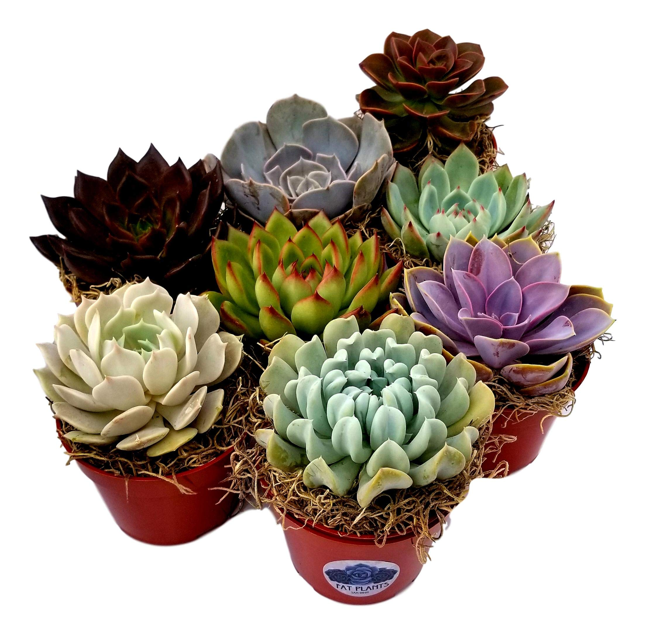 Fat Plants San Diego Large Rosette Succulent Plant Collection in Plastic Growers Pots