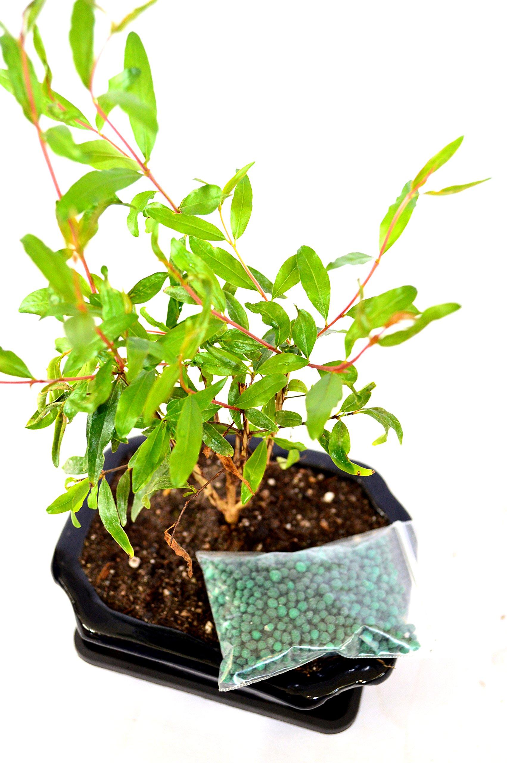 9GreenBox - Dwarf Pomegranate Mame Bonsai with Ceramic Pot by 9GreenBox.com (Image #2)