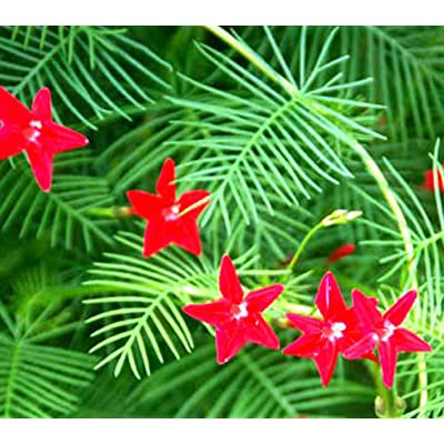 Seeds Cypress Vine Red (Ipomoea quamoclit) Organic Climbing Flowering Plant : Garden & Outdoor