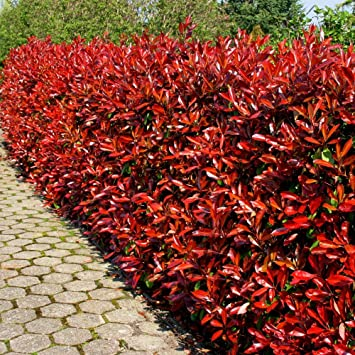 Glanzmispel Red Robin P9 - 5 heckenpflanzen: Amazon.de: Garten