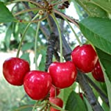 Wild Cherry, Prunus Avium Sweet Exotic Edible Tropical Fruit Cereza Seed 5 Seeds