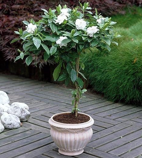 Amazon.com: Cape Jasmine arbusto – Gardenia Flor Semillas ...