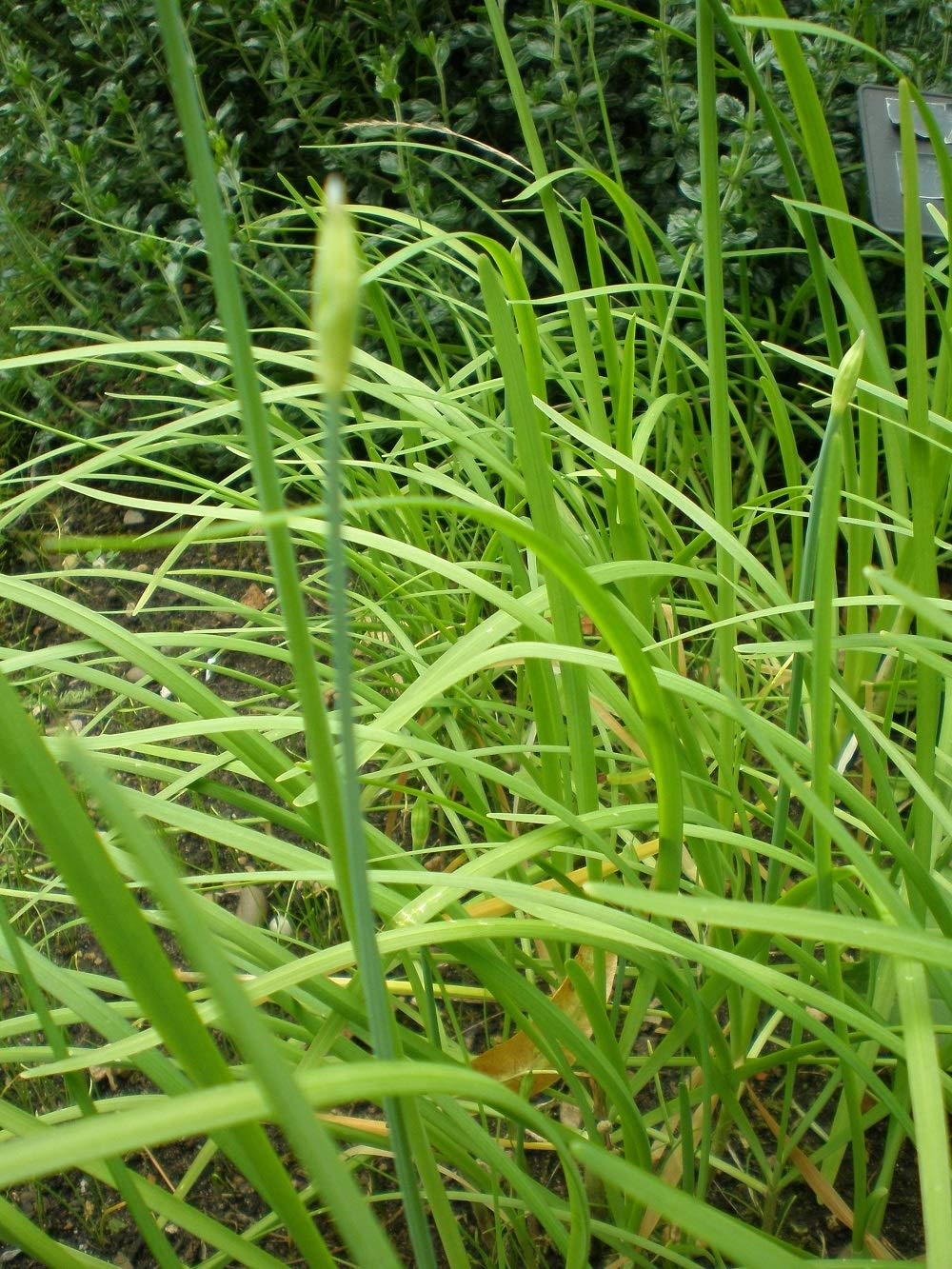HERB GARLIC / CHINESE CHIVES 1500 FINEST SEEDS
