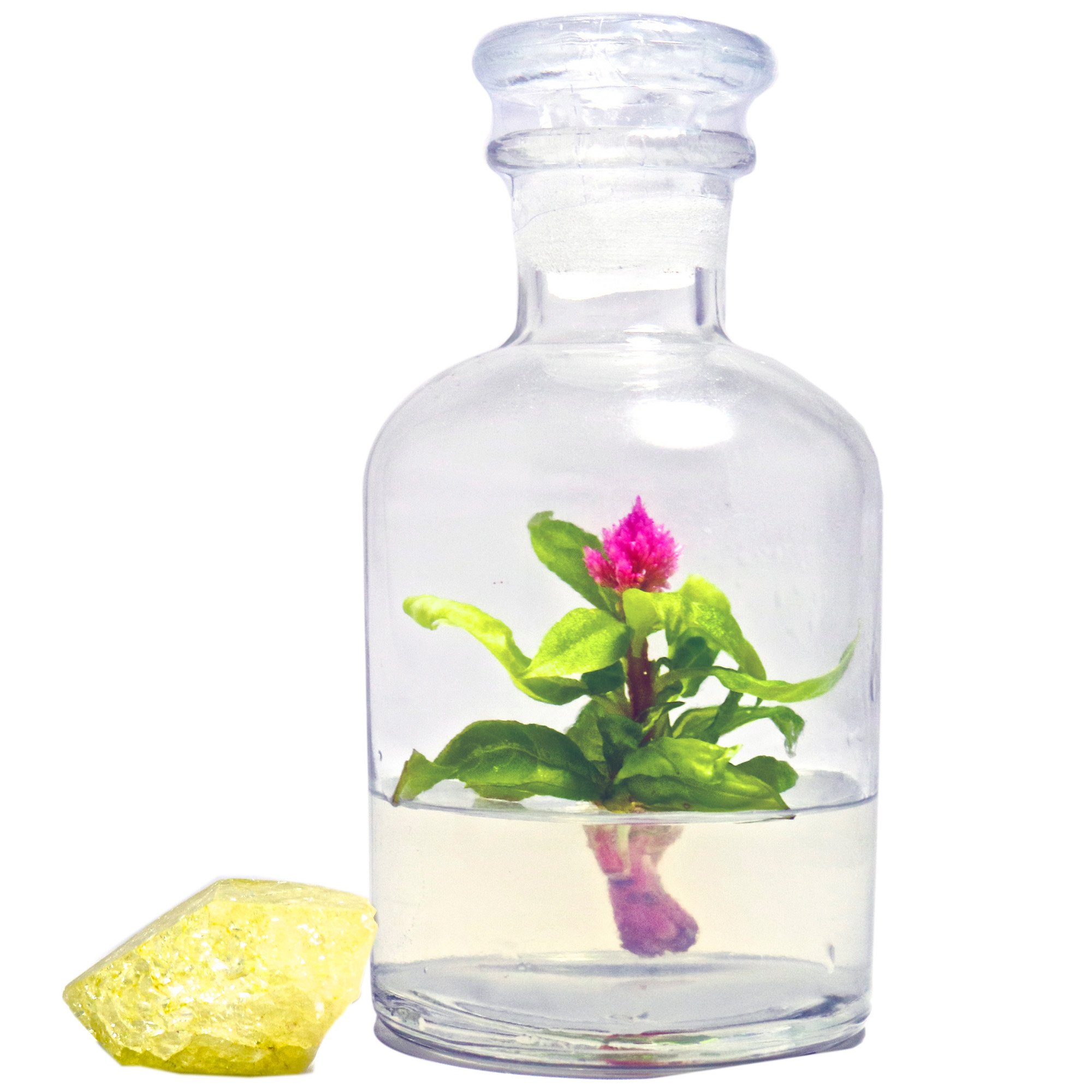 BLOOMIFY Celosia Flower Terrarium, Zero Care, Cockscomb, 4'' Jar