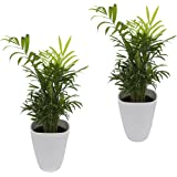Pflanzenservice Zimmerpflanzen Zimmerpalmen-Duo - 2 Chamedorea - mit weißem Dekotopf, ca. 20 - 30 cm hoch