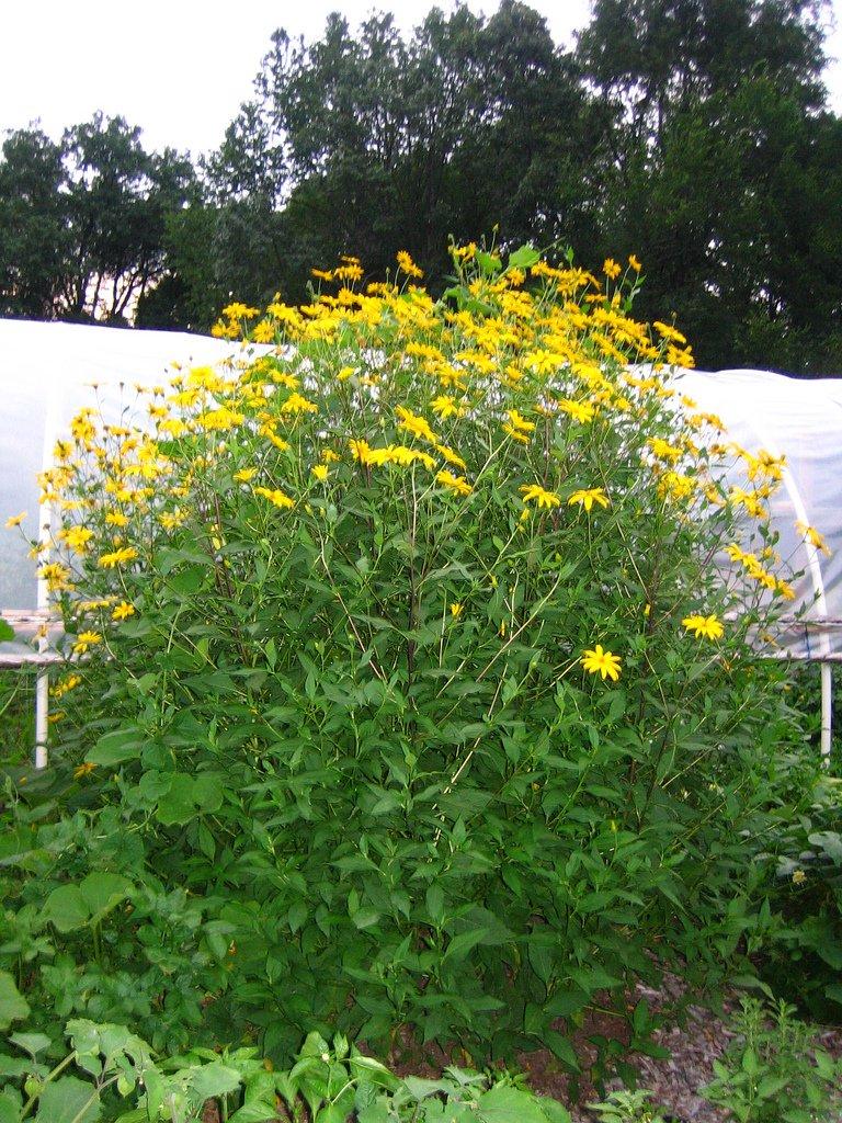 10 Lbs. Jerusalem Artichoke Tubers By Yumheart Gardens For Planting - Organic Sunchokes - Sunroot (10 LB) by Yumheart Gardens