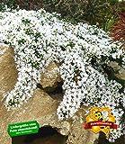 BALDUR-Garten Winterharter Bodendecker Steinaster 'Snowflurry', 1 Pflanze Aster ericoides