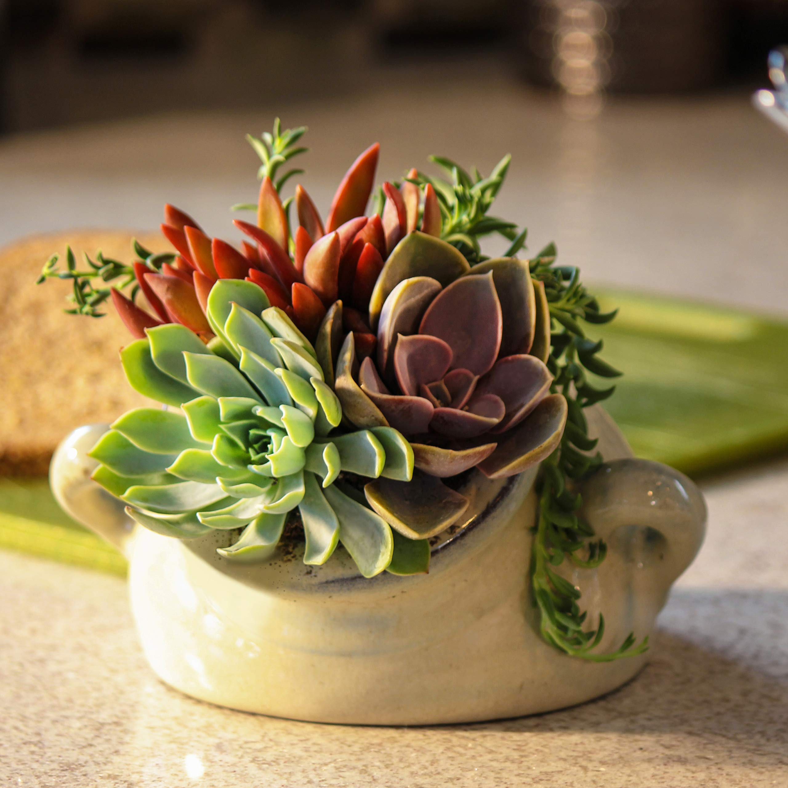 Altman Plants Mini Live Assorted Succulents Weddings, Party favors, DIY terrariums, Gifts 2'' 20 Pack by Altman Plants (Image #7)