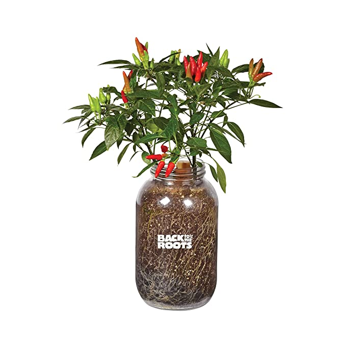 Grow Your Own Cayenne Chilli Kit//Beginner//Terracotta pots//Free Delivery