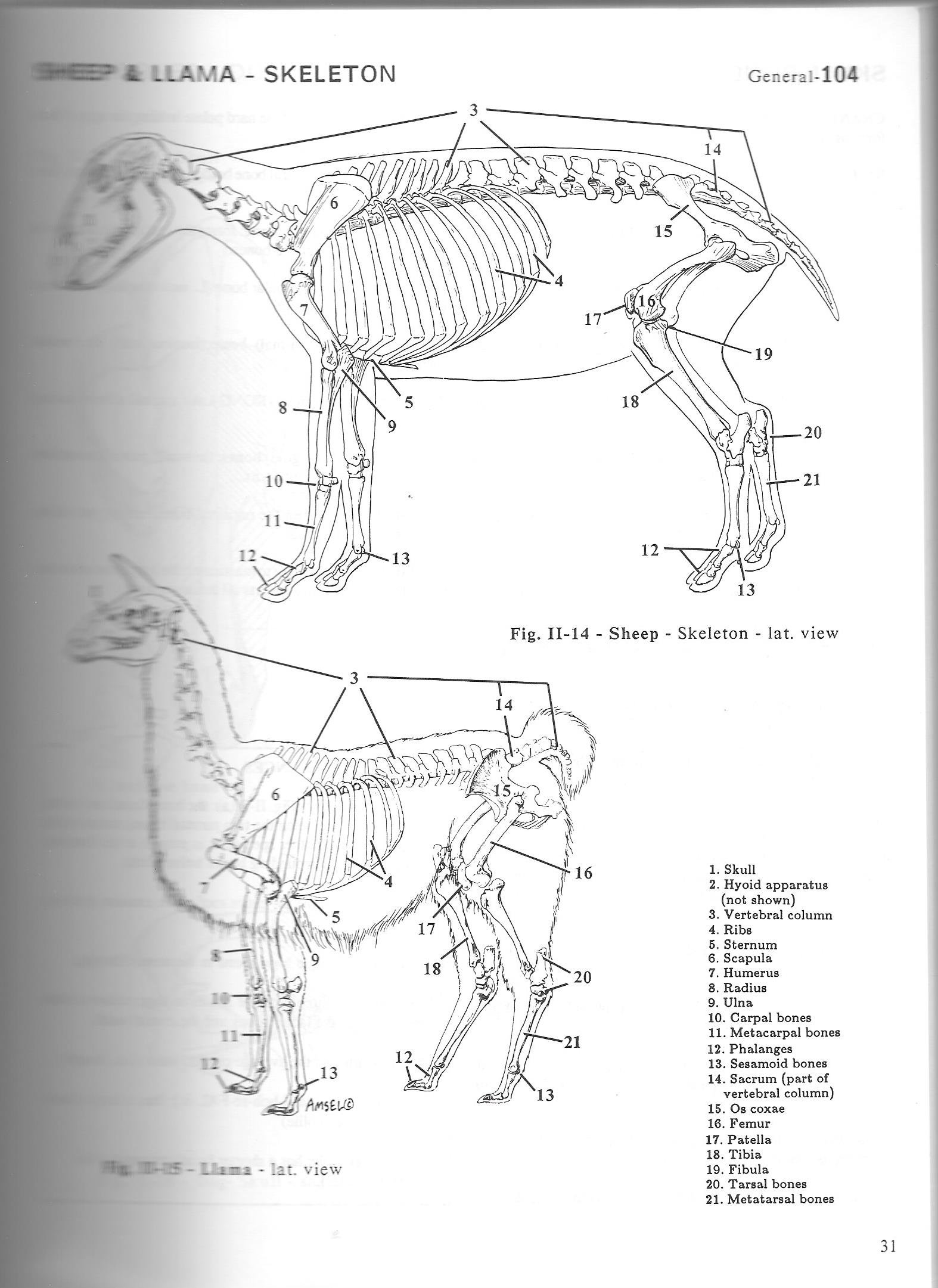 Fancy Pasquini Anatomy Of Domestic Animals Motif - Human Anatomy ...