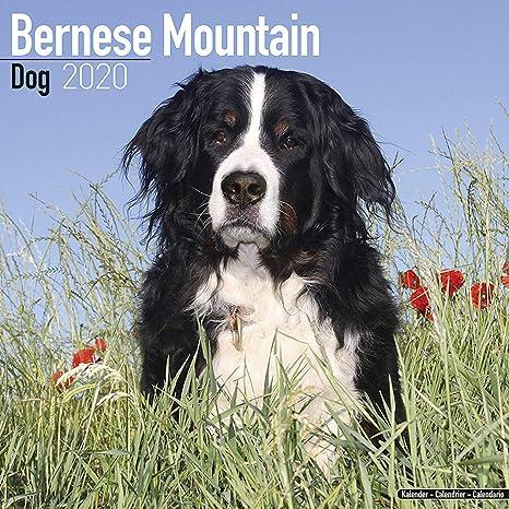 Bernese Mountain Dog Calendar 2020 Dog Breed Calendar Wall Calendar 2019 2020