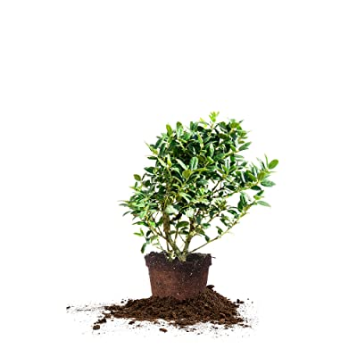 Perfect Plants Dwarf Burford Holly Live Plant, 1 Gallon, Includes Care Guide : Garden & Outdoor