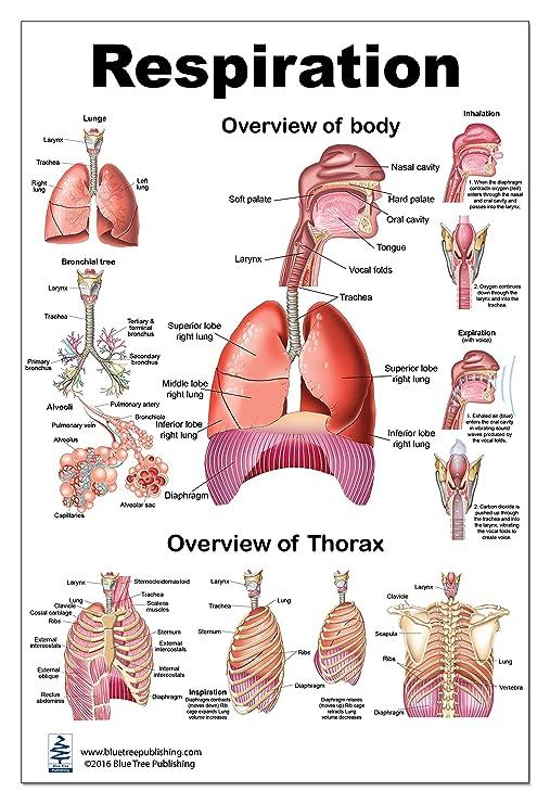Amazon.com: Swallowing Lp Poster, Anatomy, Pharynx 24x36inch ...