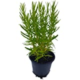 Rosmarin - kräftige Rosmarin-Pflanze im Topf in bester Gärtnerqualität