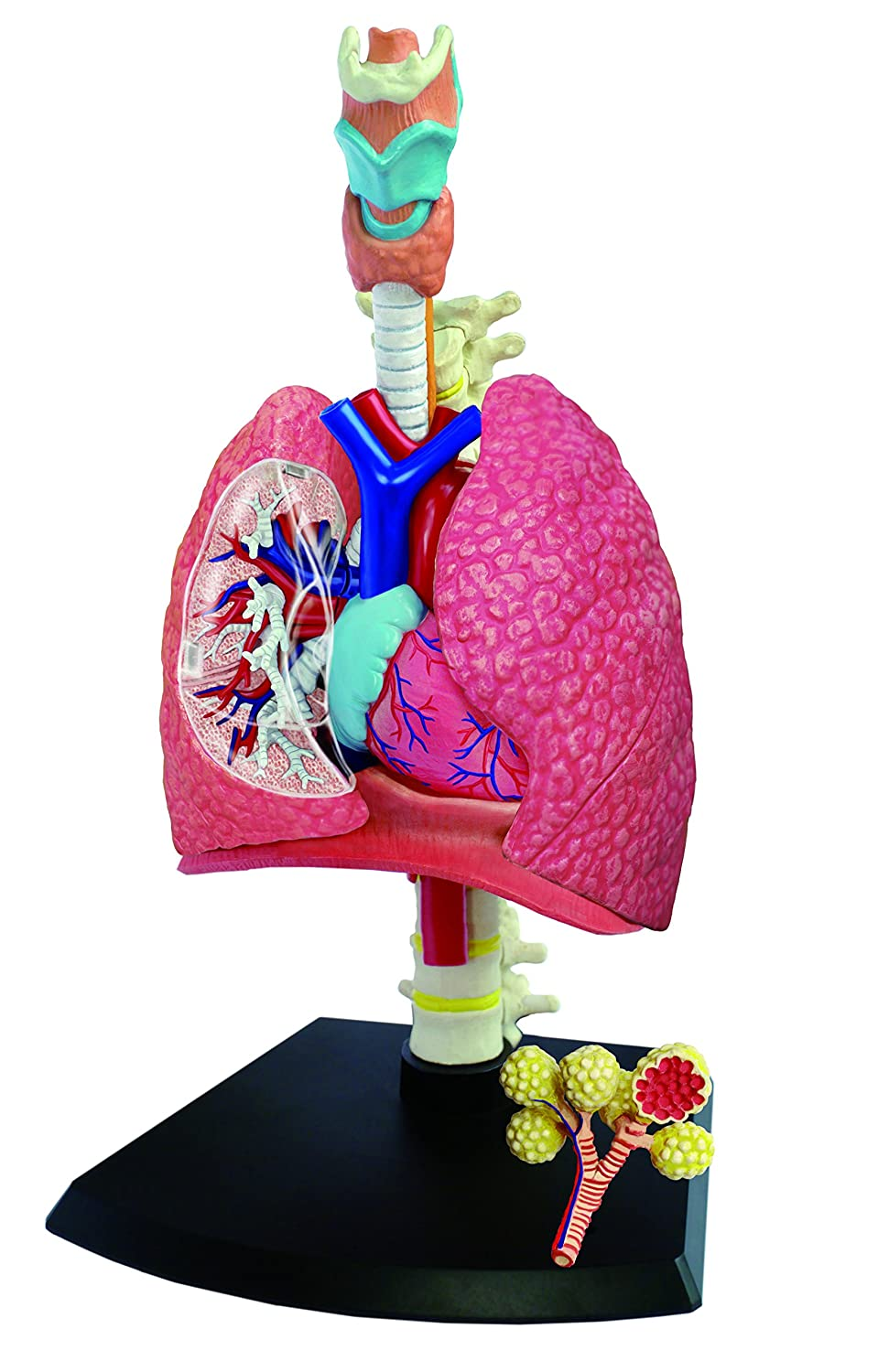 respiratory system model for kids