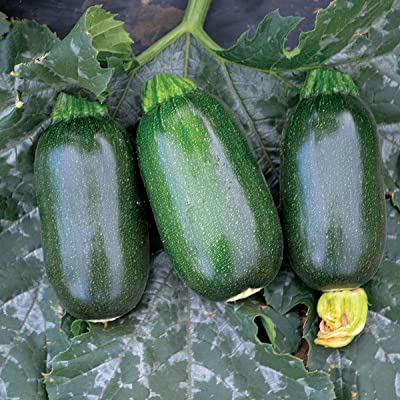 Green Griller Zucchini - 10 Seeds by AchmadAnam : Garden & Outdoor