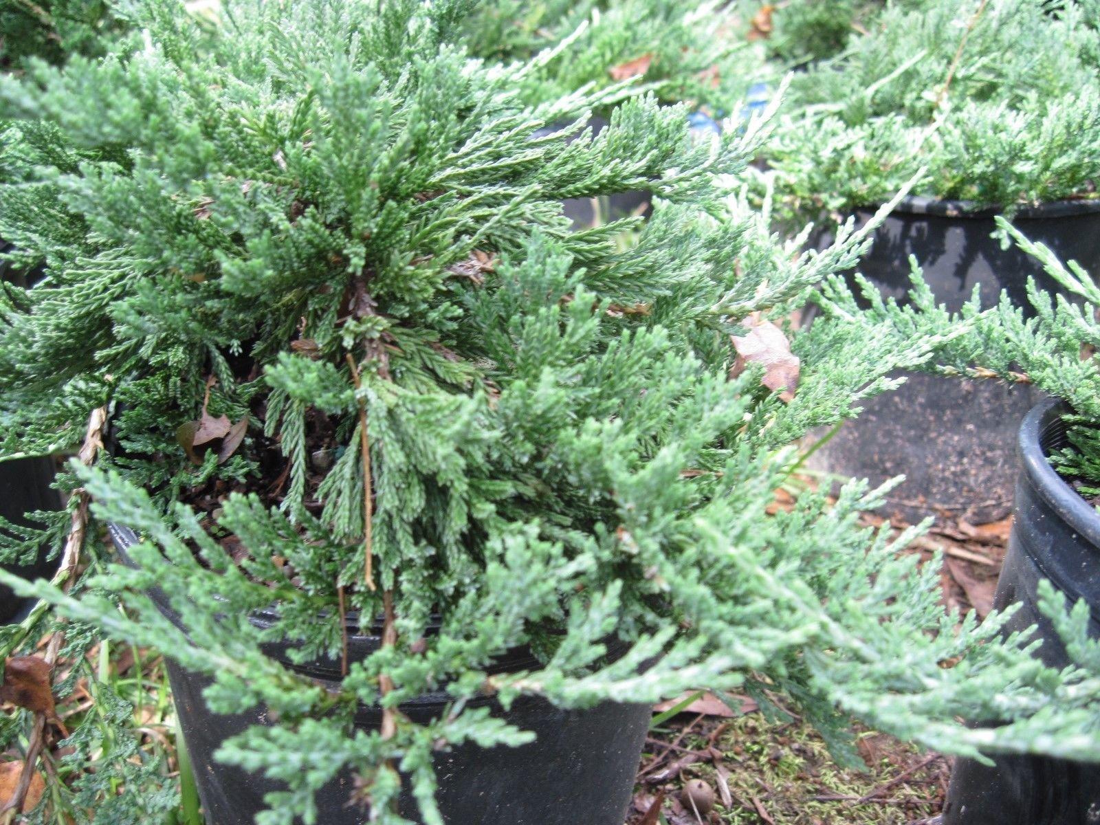 Blue Rug' Juniper, TWENTY plants, evergreen shrub, ground cover, bonsai