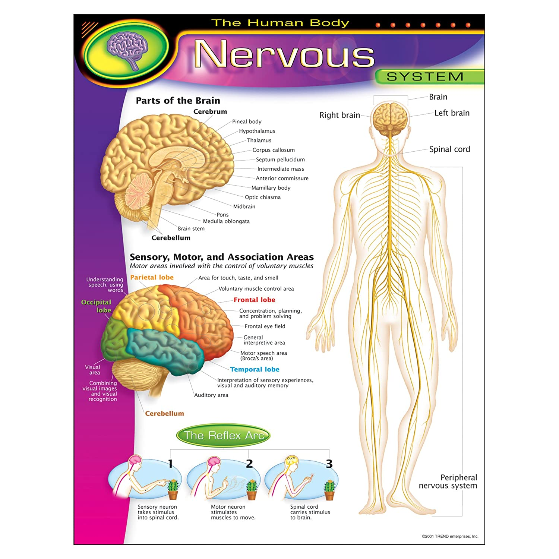 TREND ENTERPRISES INC. T-38089 CHART NERVOUS SYSTEM