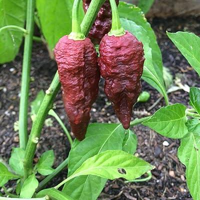 AchmadAnam - Seeds 10+ Chocolate Bhutlah Pepper (Organic Brown Superhot Chili, Chile) : Garden & Outdoor