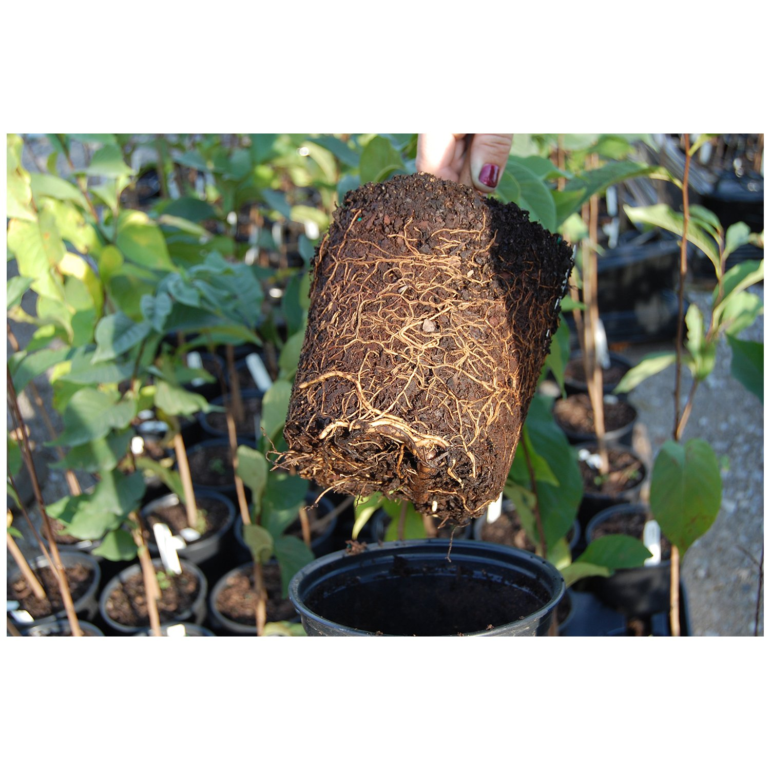 Paw-Paw Tree Asimina triloba Edible Fruit Berry Hardy Heavy Roots - One Trade Gallon Pot - 2 plant by Growers Solution by Grower's Solution (Image #1)