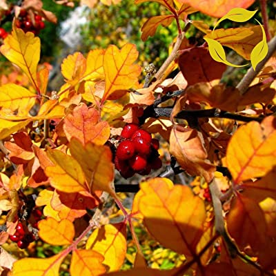 Plentree Skunkbush Sumac Rhus Trilobata - 20+ Seeds : Garden & Outdoor