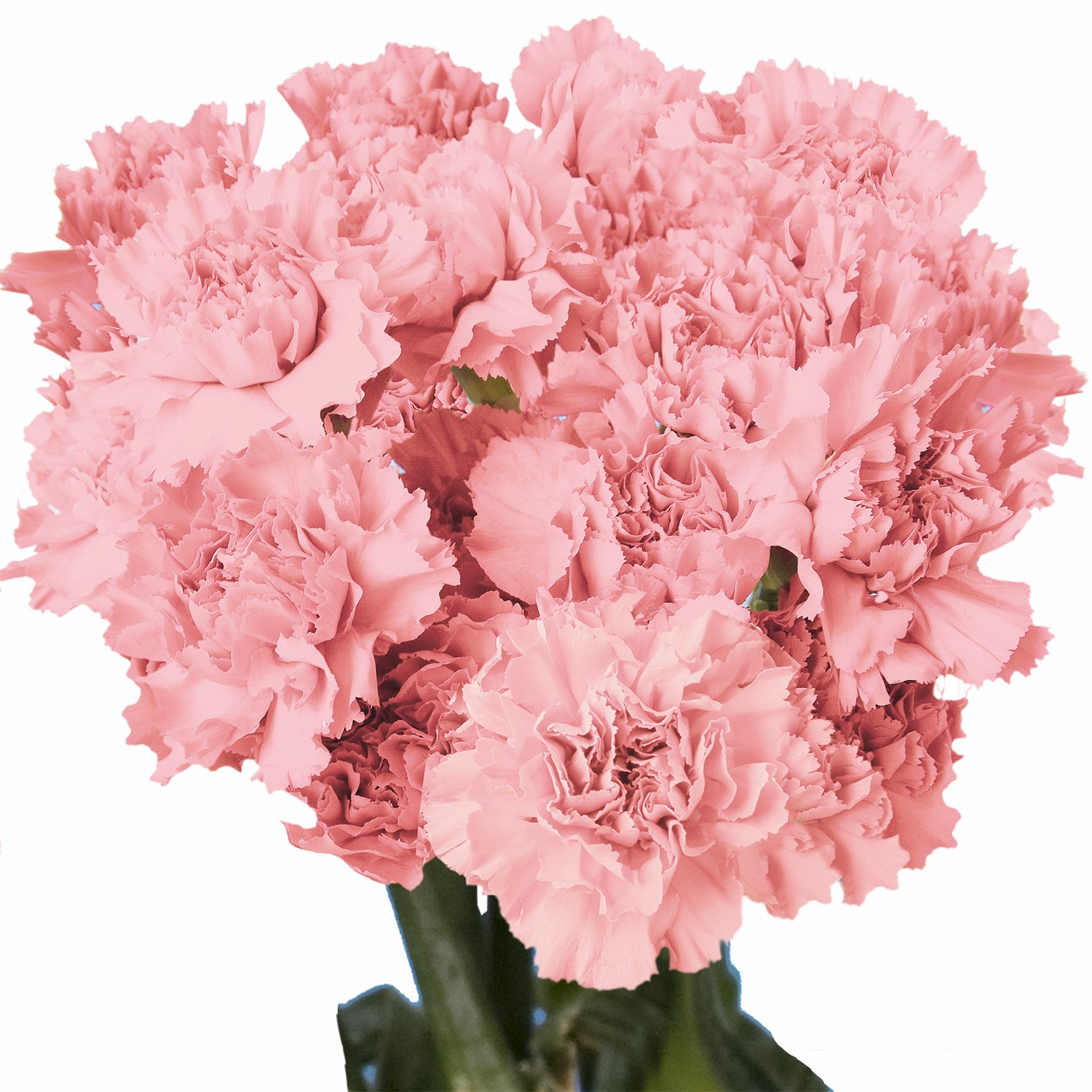 Amazon.com : GlobalRose 100 Fresh Cut White Carnations - Fresh ...
