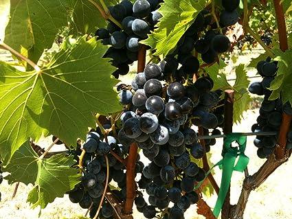 Amazon.com: chambourcin – Vid de Uva de vino Plantable ...