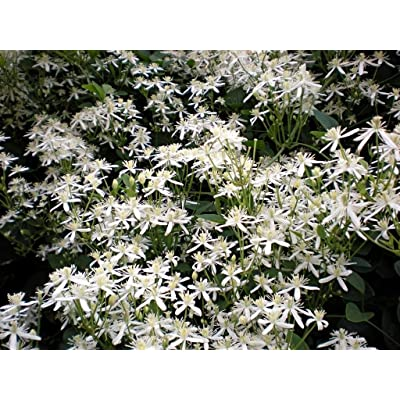 Virgin's Bower 100 seeds Clematis virginiana : Garden & Outdoor